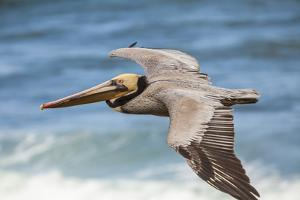 Brown Pelican Soaring. La Jolla Cove, San Diego by Michael Qualls