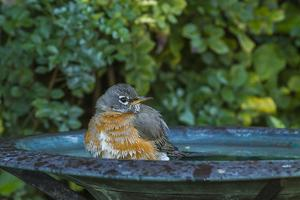 Common Robin in a Backyard Pose Perched at the Edge of the Bird Bath by Michael Qualls