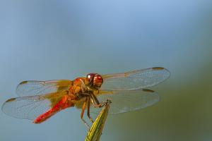 Flame Skimmer Dragonfly Drying its Wings on a Daytime Perch by Michael Qualls