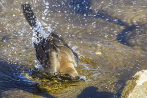 Great Tailed Grackle Splish-Splash in a Bath by Michael Qualls