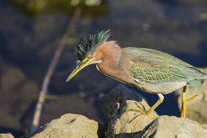 Green Heron Prowling the Shore of Lake Murray, San Diego, California by Michael Qualls