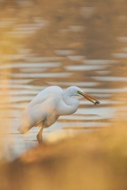 Lake Murray. San Diego, California. a Great Egret and Catch by Michael Qualls
