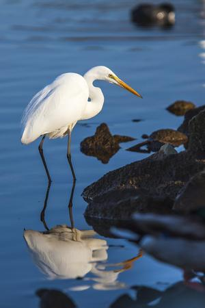 Lake Murray. San Diego, California. a Great Egret Prowling the Shore