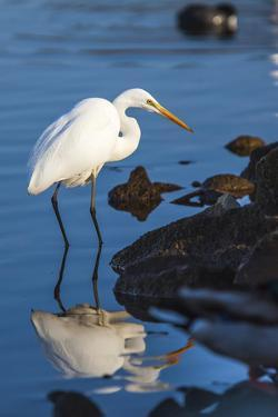 Lake Murray. San Diego, California. a Great Egret Prowling the Shore by Michael Qualls
