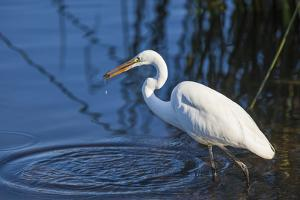 Lake Murray, San Diego, California. Great Egret with Crayfish Catch by Michael Qualls