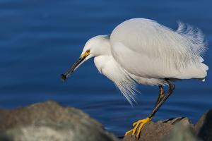 Lake Murray, San Diego, California. Shoreside Snowy Egret with Catch by Michael Qualls