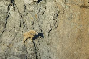 Mountain Goat in its Element at Goat Lick Overlook, Glacier NP, MT by Michael Qualls