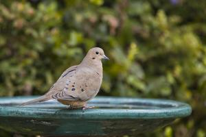 Mourning Dove at the Backyard Bird Bath by Michael Qualls