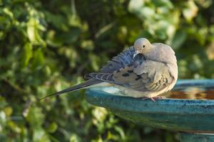 Mourning Dove Perched and Preening on a Backyard Bird Bath by Michael Qualls