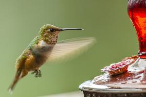 North Fork Flathead River. Calliope Hummingbird in Hover by Michael Qualls