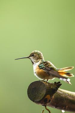 North Fork Flathead River. Calliope Hummingbird Perched by Michael Qualls