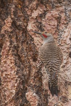 Northern Flicker Balanced on the Bark of a Ponderosa by Michael Qualls