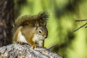 Red Tree Squirrel Posing on Branch in Flagg Ranch, Wyoming by Michael Qualls