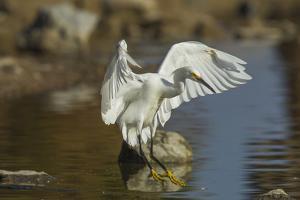 Snowy Egret Landing on Lake Murray, San Diego, California by Michael Qualls