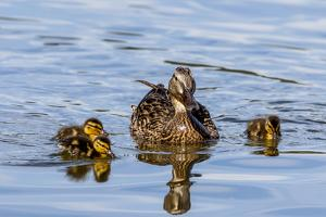 The Hen and Young Mallard Chicks Cruising the Waters of Lake Murray by Michael Qualls