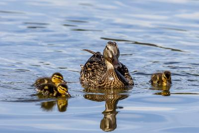 The hen and young Mallard chicks cruising the waters of Lake Murray.