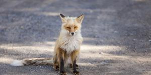 Yukon, Johnsons Crossing, Canada. Red Fox in the Rv Campground by Michael Qualls