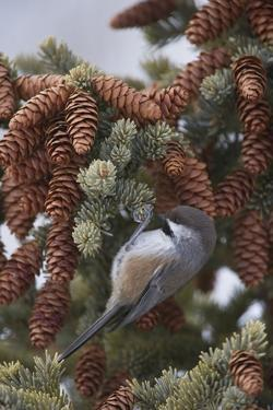 A Boreal Chickadee Perches on a Tree Branch by Michael Quinton