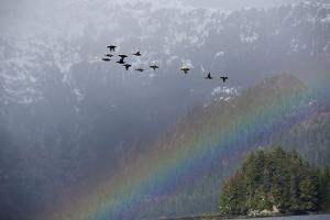 A Flock of Black Scoter Fly Off the Coast of Alaska by Michael Quinton