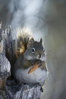 A Red Squirrel Holds a Pinecone by Michael Quinton
