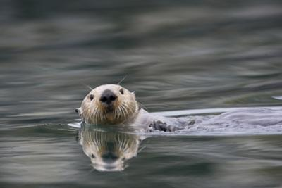 A Sea Otter Swims in Alaskan Waters by Michael Quinton