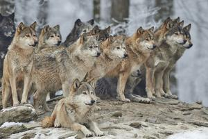 A Pack of Wolves in Snow by Michael Roeder