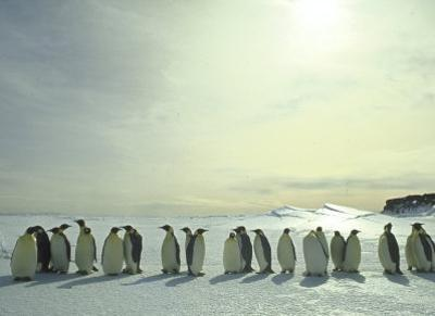 Emperor Penguins, Antarctica by Michael Rougier