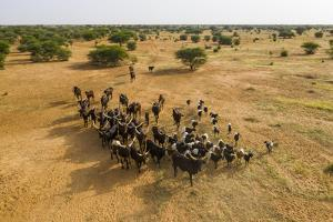 Aerial of cattle moving to a waterhole, Gerewol festival, Niger by Michael Runkel