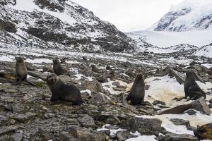 Antarctic fur seal (Arctocephalus gazella) colony, Coronation Island, South Orkney Islands, Antarct by Michael Runkel
