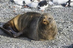 Antarctic fur seal (Arctocephalus gazella), Gourdin Island, Antarctica, Polar Regions by Michael Runkel