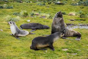 Antarctic fur seals (Arctocephalus gazella), Grytviken, South Georgia, Antarctica by Michael Runkel