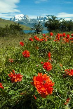 Blooming Wild Flowers in the Torres Del Paine National Park, Patagonia, Chile, South America by Michael Runkel