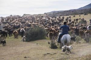 Cattle Herd in the Torres Del Paine National Park, Patagonia, Chile, South America by Michael Runkel