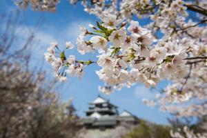 Cherry Blossom and the Matsuyama Castle, Shikoku, Japan, Asia by Michael Runkel