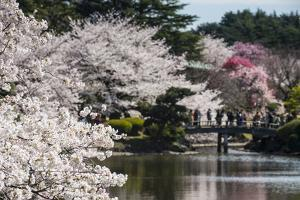 Cherry Blossom in the Shinjuku-Gyoen Park, Tokyo, Japan, Asia by Michael Runkel