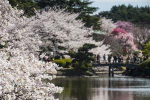 Cherry Blossom in the Shinjuku-Gyoen Park, Tokyo, Japan, Asia by Michael Runkel