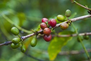 Close-Up of Coffee Beans in the Highlands of Papua New Guinea, Papua New Guinea by Michael Runkel