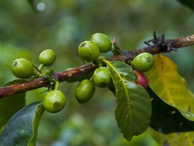Coffee Beans, Highlands, Papua New Guinea, Pacific by Michael Runkel
