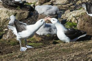 Colony of black-browed albatross mother feeding a chick (Thalassarche melanophris), Saunders Island by Michael Runkel