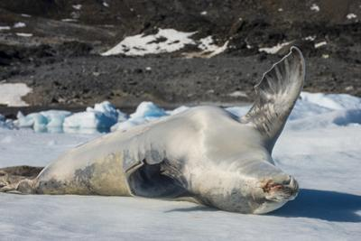 Crabeater Seal (Lobodon carcinophaga) (carcinophagus) lies on its back on an ice floe in Hope Bay,  by Michael Runkel