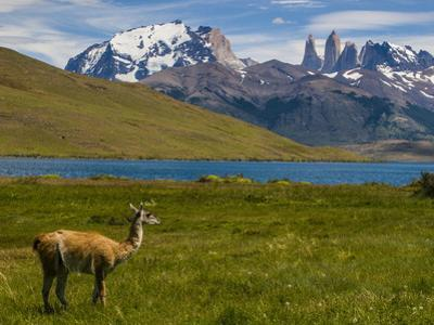 Guanaco (Lama Guanicoe), Torres Del Paine National Park, Patagonia, Chile, South America by Michael Runkel