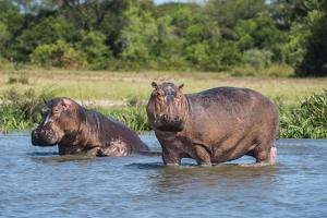 Hippopotamus (Hippopotamus Amphibius), Murchison Falls National Park, Uganda, East Africa, Africa by Michael Runkel