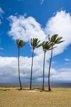 Palm Trees, Kakahaia Beach Park, Island of Molokai, Hawaii, United States of America, Pacific by Michael Runkel