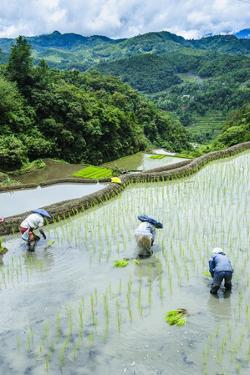 People Harvesting in the Rice Terraces of Banaue, Northern Luzon, Philippines, Southeast Asia, Asia by Michael Runkel