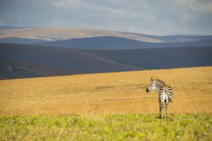 Plains Zebra (Equus Quagga), Nyika National Park, Malawi, Africa by Michael Runkel