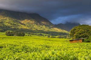 Tea Estate on Mount Mulanje, Malawi, Africa by Michael Runkel