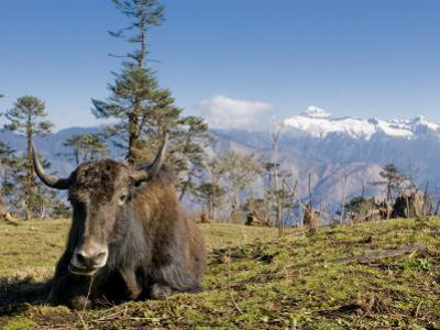 Yak Grazing on Top of the Pele La Mountain Pass with the Himalayas in the Background, Bhutan