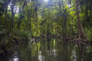 Yela Ka forest conservation area of ka trees (Terminalia carolinensis) in the Yela Valley, Kosrae,  by Michael Runkel