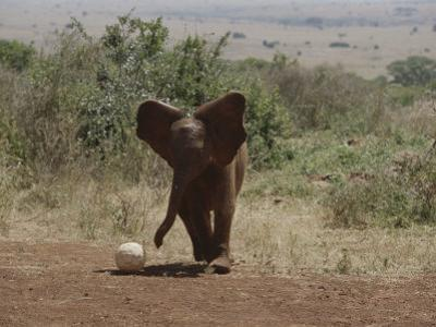 A Juvenile Elephant (Loxodonta Africana) Playing with a Soccer Ball by Michael S. Lewis