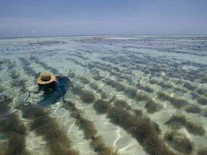 A Zanzibar Island Woman Cultivating Seaweed in the Indian Ocean by Michael S. Lewis